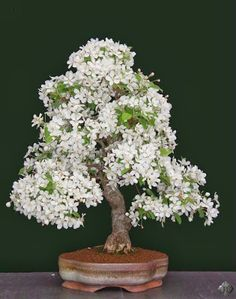 Flowering Bonsai are very popular and fruits on miniature trees fascinate almost everybody. But there are a number of things you must pay attention to if you want to make sure these Bonsai tree Flowering Bonsai Tree, Bonsai Tree Types, Indoor Bonsai Tree, Bonsai Flowers, Bonsai Garden, Garden Plants, House Plants, Air Plants, Cactus Plants