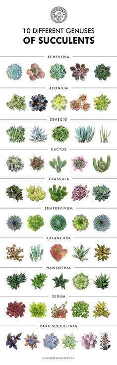 Plants - 10 Different genuses of succulents succulents echeveria sedum cactus kalanchoe aeonium senecio sepervivum cotyledon crassula aloe gardeningtips -