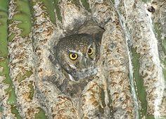Elf Owl (Micrathene whitneyi) at nest. Image by Rick & Nora Bowers. May Adult at Saguaro Cactus nest hole. Elf Owl, The Elf, Owls, Birds, Nest, Animals, Nature, Animales, Nest Box