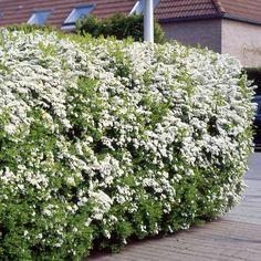 Spiraea Arguta Haagplanten - 5 haagplanten kopen veilig online bestellen
