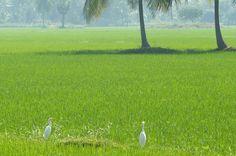 The surroundings of Palakollu, in West Godavari.