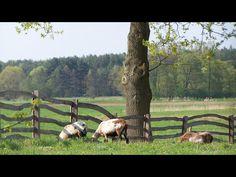 Zdjęcie przedstawia krajobraz wiejski. Widać na nim kozy pasące się na łączce. W tle znajduje się las.