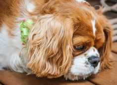 King Charles Cavalier.....looks a bit sad though!