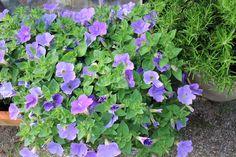 Blå blomst i min have.