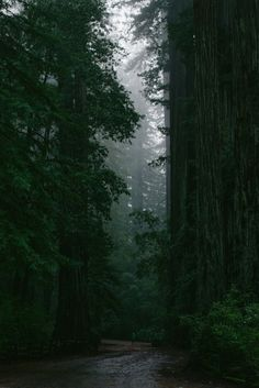Coastal Redwoods Forest Road byCraig Kirk