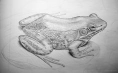 This is second try to draw a frog by pencil. Not so horrible as my 1st attempt! :D I'll do more and better! #frog, #greenfrog, #water, #pencil, #drawing, #studying, #French, #frenchdelicates, #froggers
