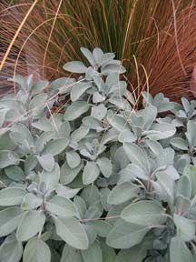 Salvia 'Berggarten'