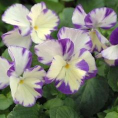 Buy Viola Rebecca Perennial Plants Online. Garden Crossings Online Garden Center offers a large selection of Violet Plants. Shop our Online Perennial catalog today!