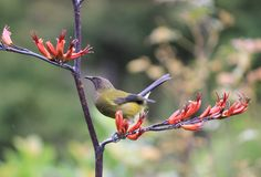bellbird Sea Birds, Wild Birds, Beautiful Birds, Art Forms, New Zealand, Coastal, Flora, Scenery, Wildlife