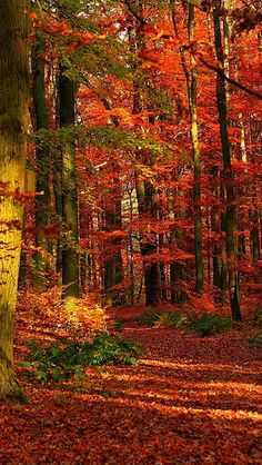 autumn_wood_leaves_trees_red_gleams_61238_640x1136 | by vadaka1986