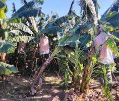 Растут бананы высоко достать бананы не легко... #alanya#turkey#бананы# bananas#