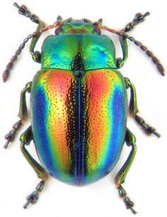 """Beautiful beetle with a boring common name: """"Dead-nettle leaf beetle."""" I think """"Dazzling rainbow sparkle beetle"""" is more appropriate. Leaf Beetle, Beetle Insect, Beetle Bug, Insect Art, Bug Insect, Cool Insects, Bugs And Insects, Instalation Art, Chesire Cat"""