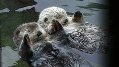 Otters Holding Hands Images & Pictures - Becuo