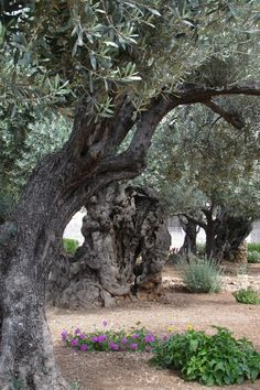 ˚200 year old Olive trees - Jerusalem