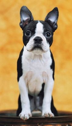 Boston Terrier dog art portraits, photographs, information and just plain fun. Also see how artist Kline draws his dog art from only words at drawDOGS.com #drawDOGS