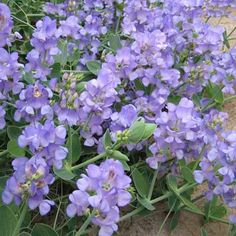 Sweet Pea Plants - Lord Anson - Flower Plants - Gardening - Suttons Seeds and Plants