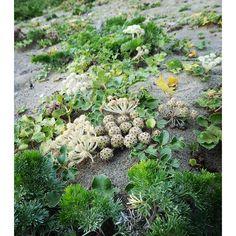 浜辺に生えていたこの植物 ナウシカの腐海に生えてそうな感じ。山に住んでると海辺の植物は奇妙に感じるものが多い。 #sea #beach #plant #photo #picoftheday #picture #grass #whatisthis #strange #green#trip#travel #石川 #浜辺#海 #草 #植物#腐海 #ナウシカ #なんだこれ 2016/06/24 00:00:26