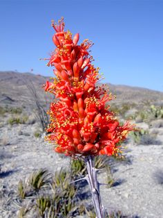For most of the year the ocotillo appears devoid of life, but its dry, woody, thorny stems sprout small green leaves in spring and after heavy rains, followed by a cluster of bright red flowers at the apex of each branch. The plant inhabits open, gravelly slopes, and is found all across the Southwest deserts from west Texas to southeast California.