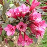 Weigela 'Naomi Campbell' (Weigela 'Naomi Campbell') Click image to learn more, add to your lists and get care advice reminders  each month.