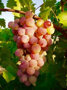 Rose Grapes at sunset Fruit And Veg, Fruits And Vegetables, Fresh Fruit, Fruit Picture, Fruit Photography, Vides, Beautiful Fruits, Food Backgrounds, Delicious Fruit
