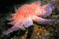 In Washington State in June 2013, scientists observed sea stars dying. Within days, the animals' arms walked off in different directions & their entire bodies melted into goo. At first, scientists observed a high level of wasting at 39 percent of sites surveyed in central and northern California. By the summer of 2014, it had soared to 87 percent.