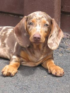 This looks like my Bravo! I love my dapple doxie more than anything in the world! <3