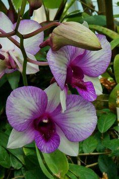 Orquídea (Familia Phalaenopsis)