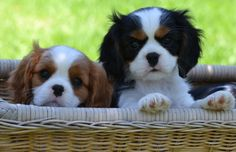 Canyoncrest Cavalier King Charles Spaniel Puppies Dallas Fort Worth Texas | Grace and Margie 9 weeks old