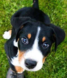 Looks like her - Greater Swiss Mountain Dog puppy Kittens And Puppies, Cute Puppies, Cute Dogs, Swiss Mountain Dog Puppy, Entlebucher Mountain Dog, Animals And Pets, Cute Animals, Dog Photography, Beautiful Dogs