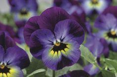 Viola cornuta Penny Violet Blue