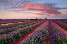 Lavender Photo by Nino Marcutti -- National Geographic Your Shot
