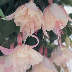 These Fuchsia Trailing Happy Wedding Day - Plants are fantastic situated in beds, borders and containers around your garden. Once fully grown, they'll create massive impact.