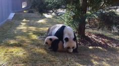 """Bao Bao, the giant panda cub at the Smithsonian's National Zoo in Washington, D.C., explored the outdoor portion of her habitat for the first time on April 1. The 7-month-old cub, born Aug. 23, 2013, wandered outdoors with her mother, Mei Xiang, and even tested out her climbing skills on one of the habitat's smaller trees.Animal keepers said the young panda was a little hesitant at first, and never strayed too far from her mother's side.""""She even took a cue from Mei and sat down in the grass…"""