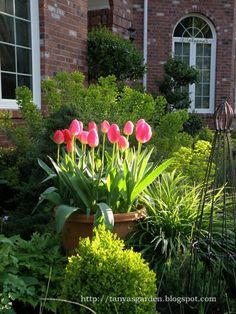pot of lipstick pink tulips nestled into perrenials and shrubs. makes them  a focal point  instead of being overshadowed  by the green