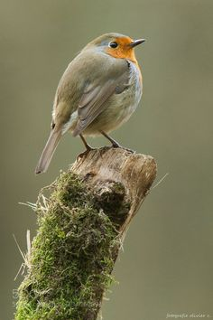 Perched Robin #PatrickBorgenMD