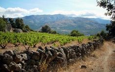 Old vine, high altitude Garnacha vines in the Gredos mountains, just west of Madrid...