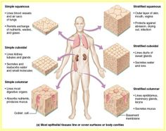 Connective tissue disorders / diseases are actually a group of medical diseases. A connective tissue disease is any disease that has the connective tissues of the body as a primary target of pathology. The connective tissues are the structural portions of Cells And Tissues, Body Tissues, Medical Coding, Medical Science, Human Tissue, Tissue Types, Animal Cell, Cell Biology, Science Biology