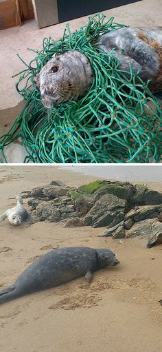 After this seal got tangled up in a net, rescuers found him, helped him, then freed him!