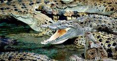 Pelle di coccodrillo: PETA contro gli allevamenti