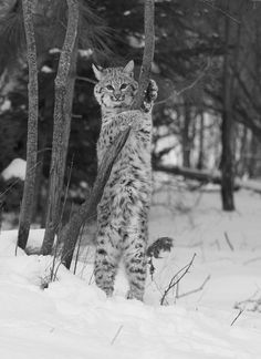 I don't usually care for or pin black & white photos but I like this one and I love bobcats and lynxes (but especially bobcats!)