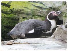 v8dub posted a photo:  Spheniscus humboldti, Zoo am Meer, Bremerhaven, décembre 2016