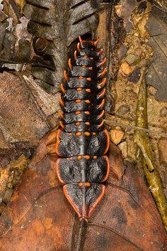 "female ""trilobite beetle """