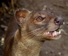 Caçadora solitária da ilha de Madagascar.                                                                                                                                                                                 Mais