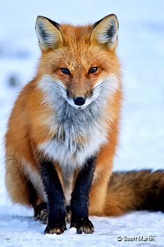 Red Fox [Vulpes vulpes] is the largest of the foxes. They reside in most of the northern hemisphere around the world. They have adapted well (as have the coyotes] to living beside mankind.