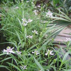 AMERICAN WATER WILLOW Bog Plants, American, Water, Gripe Water