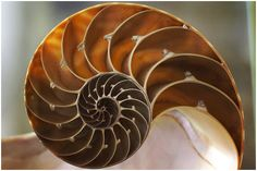 naUTILUS SHELL - Google Search