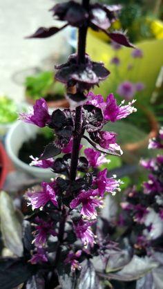 Flores de albahaca morada