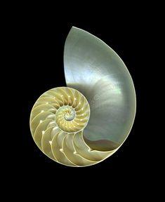 Download Nautilus stock image. Image of shell, nautilus, inner - 53981309