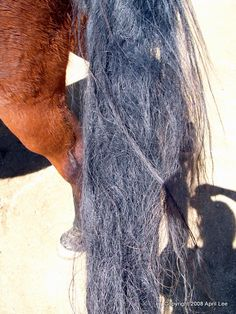 Detangling a Matted Tail | Helpful Horse Hints