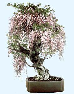 A wisteria bonsai Wisteria Bonsai, Bonsai Plants, Bonsai Garden, Garden Trees, Bonsai Trees, Ikebana, Miniature Trees, Arte Floral, Growing Tree